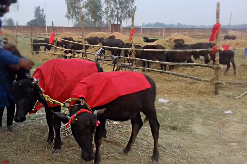 Despite efforts to end tradition, a devotee prepares a buffalo for slaughter as an offering during the Gadhimai festival
